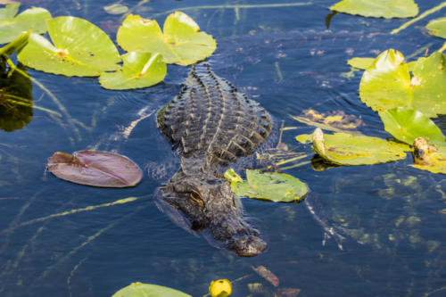 Everglades1 55