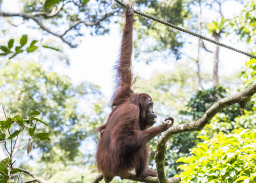 Orangutan1 1