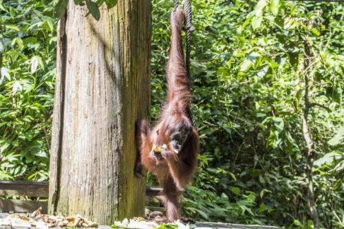Orangutan1 2