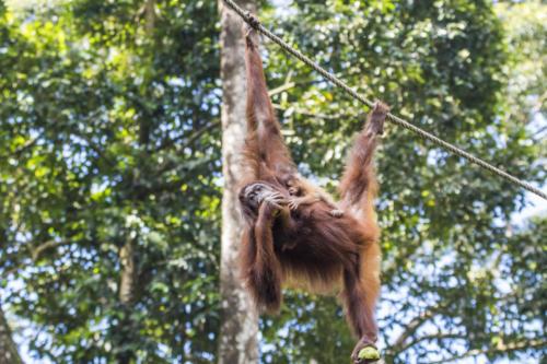 Orangutan1 8