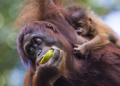 Orangutan2 1