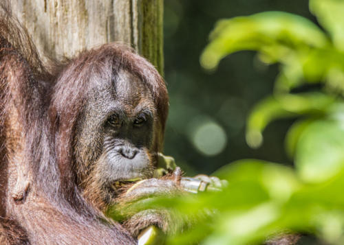 Orangutan2 3