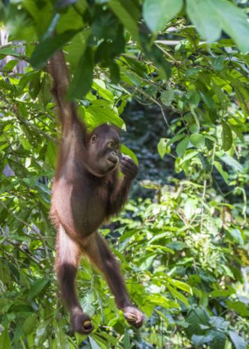 Orangutan2 6