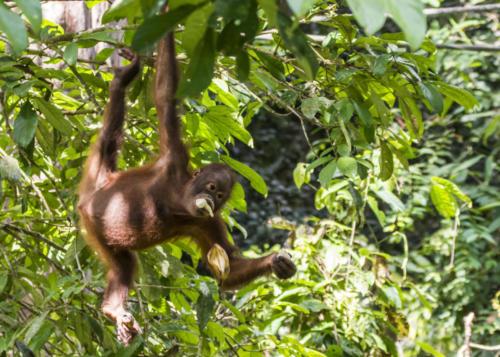 Orangutan2 7