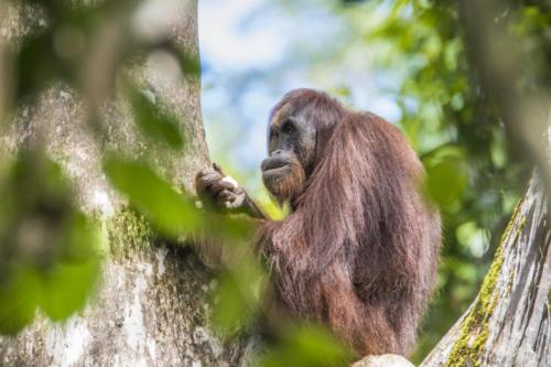 Orangutan3 9