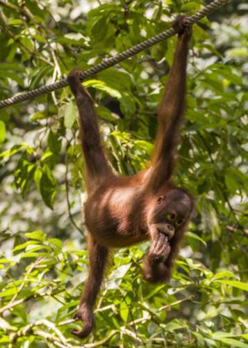 Orangutan4 2