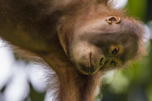 Orangutan4 3