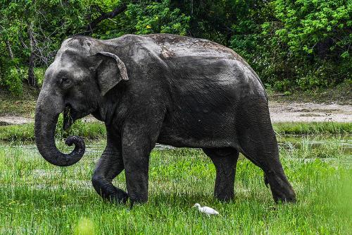 Sri lankahortončas134